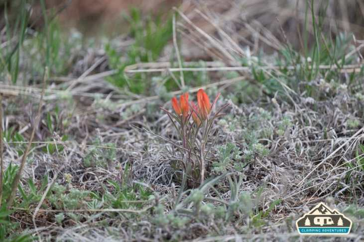 Indian Paintbrush. Manitou Experimental Forest.